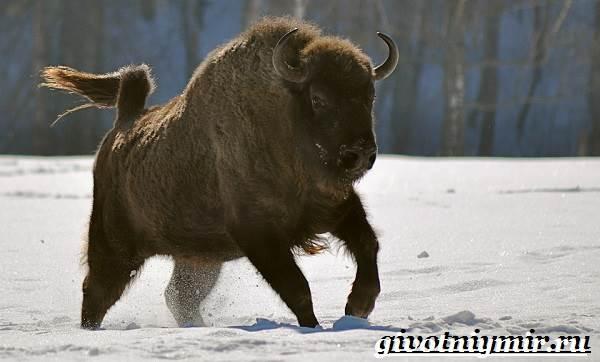 Зубр-животное-Образ-жизни-и-среда-обитания-зубра-6