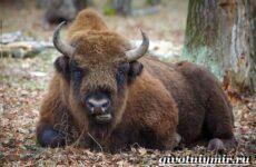 Зубр животное. Образ жизни и среда обитания зубра
