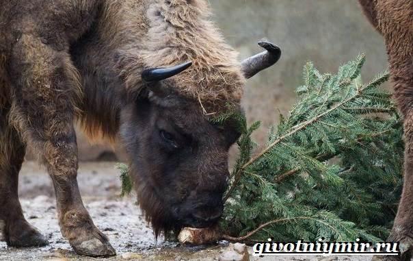 Зубр-животное-Образ-жизни-и-среда-обитания-зубра-9