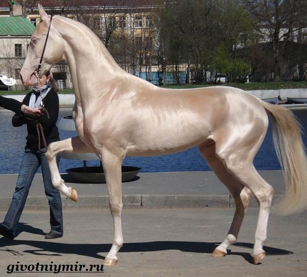 Ахалтекинская-лошадь-Описание-особенности-и-уход-за-ахалтекинской-лошадью-1