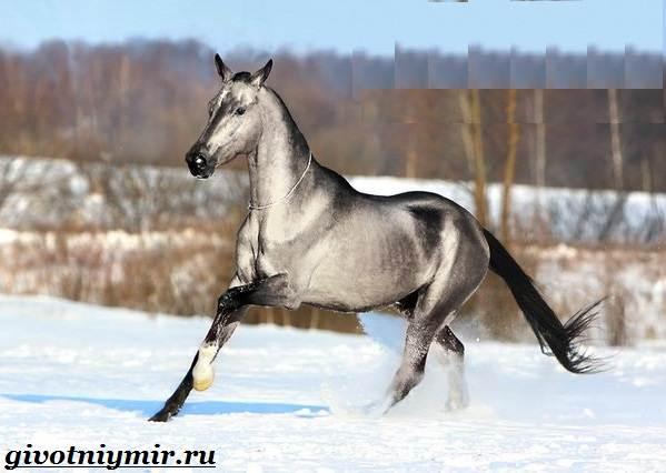 Ахалтекинская-лошадь-Описание-особенности-и-уход-за-ахалтекинской-лошадью-5