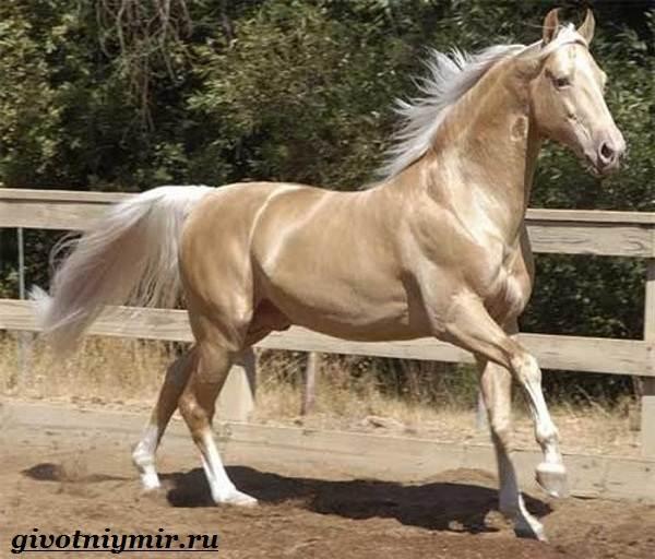 Ахалтекинская-лошадь-Описание-особенности-и-уход-за-ахалтекинской-лошадью-6