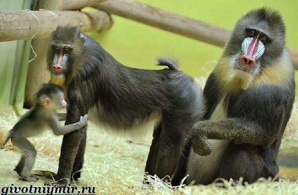 Мандрил-обезьяна-Образ-жизни-и-среда-обитания-мандрила-2