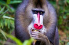 Мандрил обезьяна. Образ жизни и среда обитания мандрила