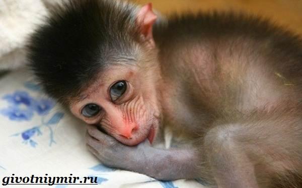 Мандрил-обезьяна-Образ-жизни-и-среда-обитания-мандрила-6