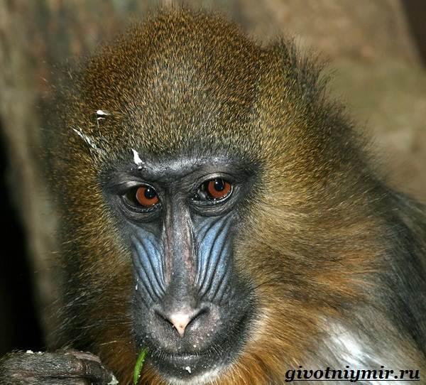 Мандрил-обезьяна-Образ-жизни-и-среда-обитания-мандрила-7