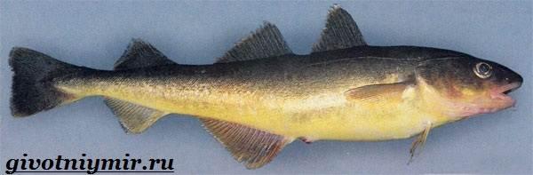 Навага-рыба-Образ-жизни-и-среда-обитания-наваги-2