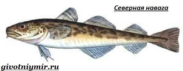 Навага-рыба-Образ-жизни-и-среда-обитания-наваги-3