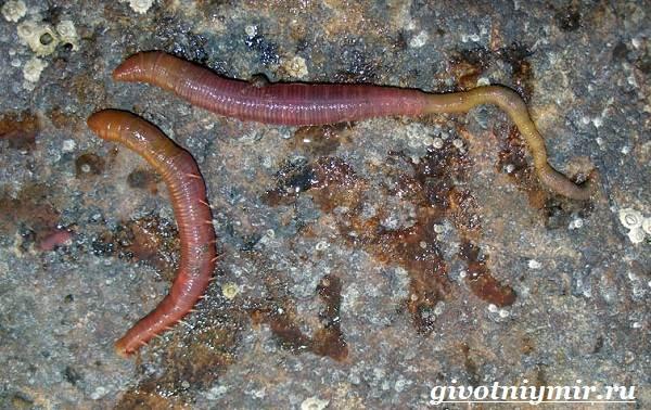 Пескожил-червь-Образ-жизни-и-среда-обитания-пескожила-2