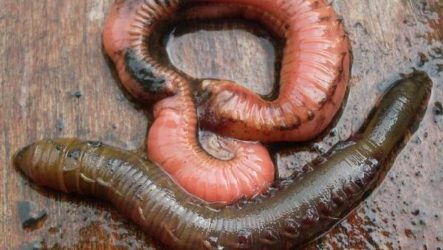 Пескожил червь. Образ жизни и среда обитания пескожила