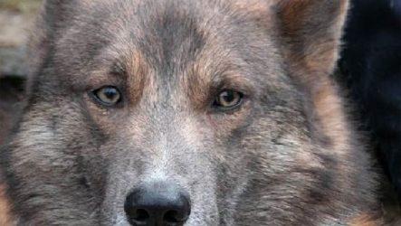 Собака Сулимова. Описание, особенности и история собаки Сулимова