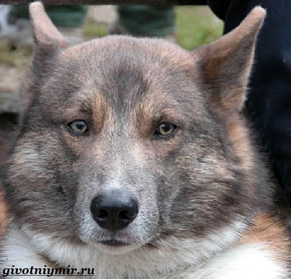 Собака-Сулимова-Описание-особенности-и-история-собаки-Сулимова-1