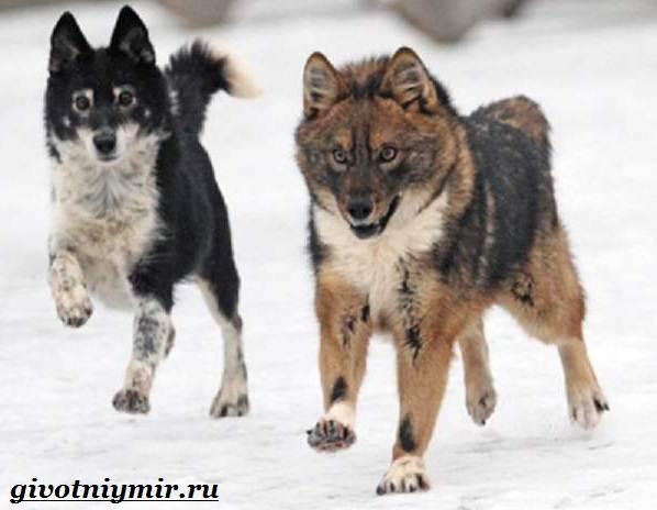 Собака-Сулимова-Описание-особенности-и-история-собаки-Сулимова-4