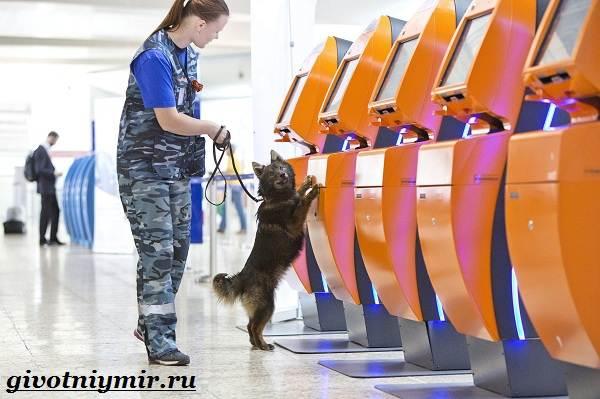 Собака-Сулимова-Описание-особенности-и-история-собаки-Сулимова-5
