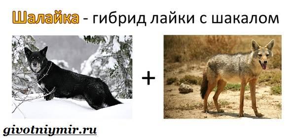 Собака-Сулимова-Описание-особенности-и-история-собаки-Сулимова-6