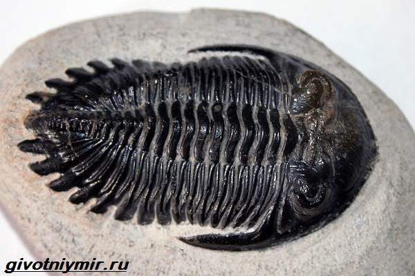 Жук-трилобит  создание с внешностью доисторических существ