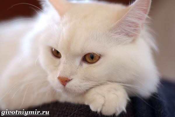 Турецкая-ангора-кошка-Описание-особенности-уход-и-цена-турецкой-ангоры-1