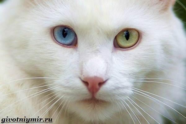 Турецкая ангора или ангорская кошка. Все о породе