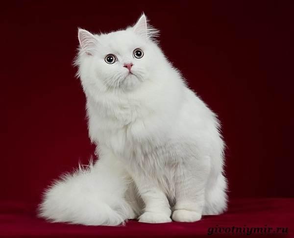 ангорская кошка цена фото