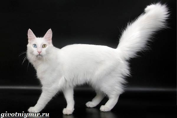 Турецкая-ангора-кошка-Описание-особенности-уход-и-цена-турецкой-ангоры-5