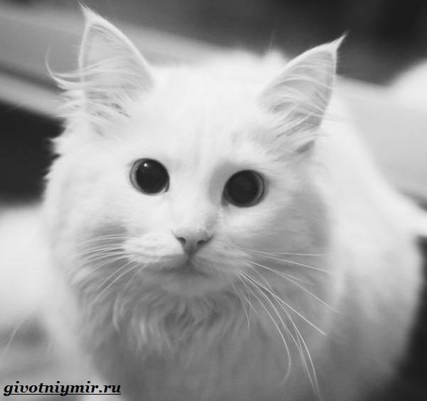 Турецкая-ангора-кошка-Описание-особенности-уход-и-цена-турецкой-ангоры-7