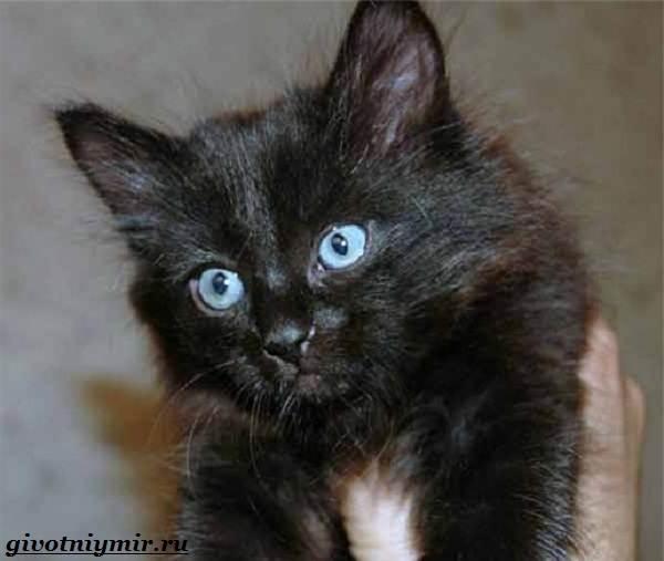 Турецкая-ангора-кошка-Описание-особенности-уход-и-цена-турецкой-ангоры-8