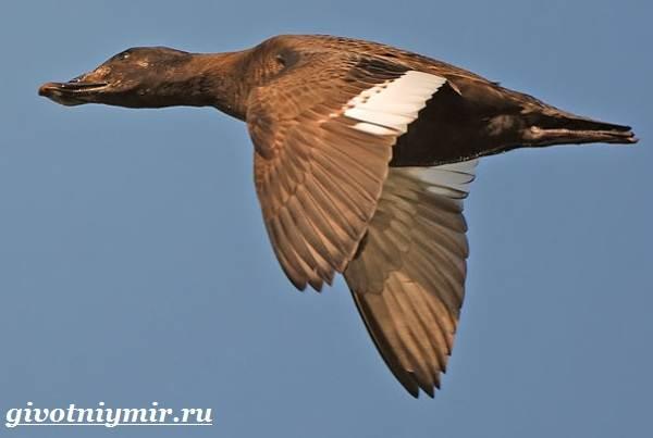 Турпан-птица-Образ-жизни-и-среда-обитания-турпана-3