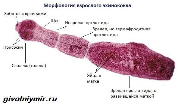 Что такое эхинококковый пузырь