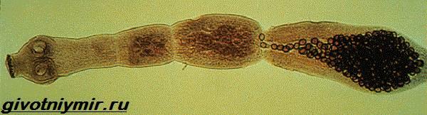 Эхинококк-червь-Образ-жизни-и-среда-обитания-эхинококка-6