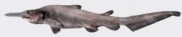 Акула-домовой-Образ-жизни-и-среда-обитания-акулы-домовой-1