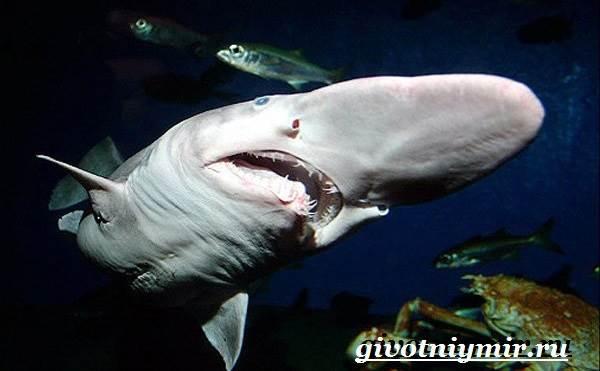 Акула-домовой-Образ-жизни-и-среда-обитания-акулы-домовой-5