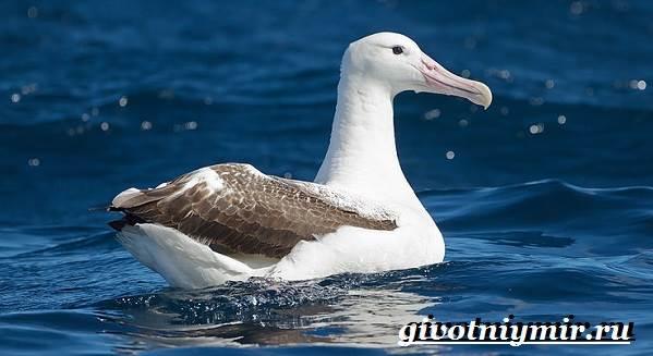 Альбатрос-птица-Образ-жизни-и-среда-обитания-альбатроса-1