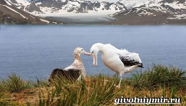 Альбатрос-птица-Образ-жизни-и-среда-обитания-альбатроса-2