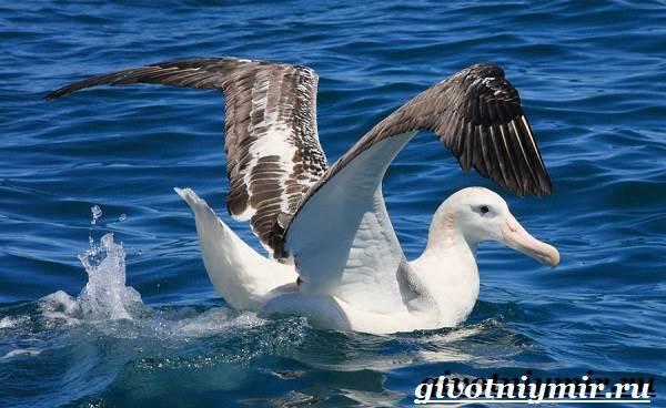 Альбатрос-птица-Образ-жизни-и-среда-обитания-альбатроса-4