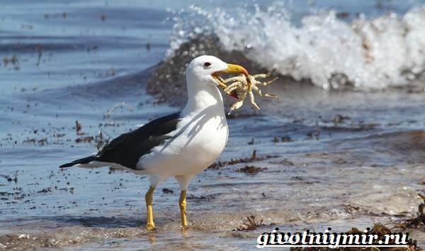 Альбатрос-птица-Образ-жизни-и-среда-обитания-альбатроса-6