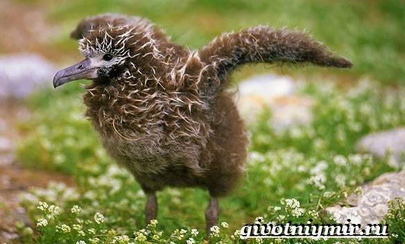 Альбатрос-птица-Образ-жизни-и-среда-обитания-альбатроса-9