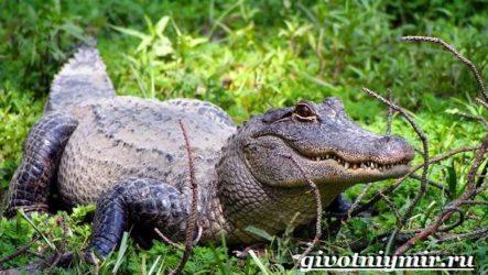 Аллигатор животное. Образ жизни и среда обитания аллигатора