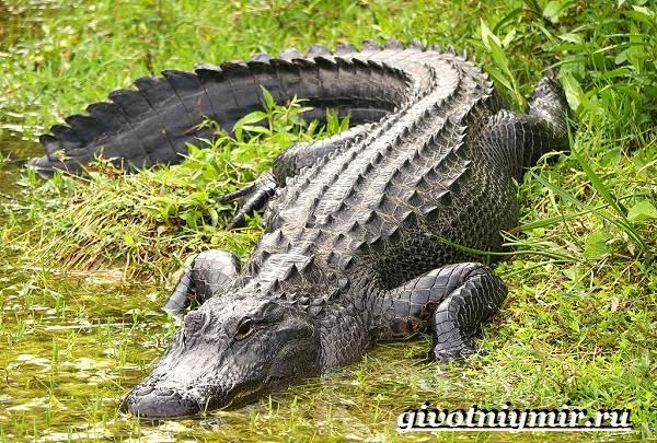 Аллигатор-животное-Образ-жизни-и-среда-обитания-аллигатора-4