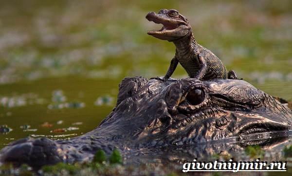 Аллигатор-животное-Образ-жизни-и-среда-обитания-аллигатора-8