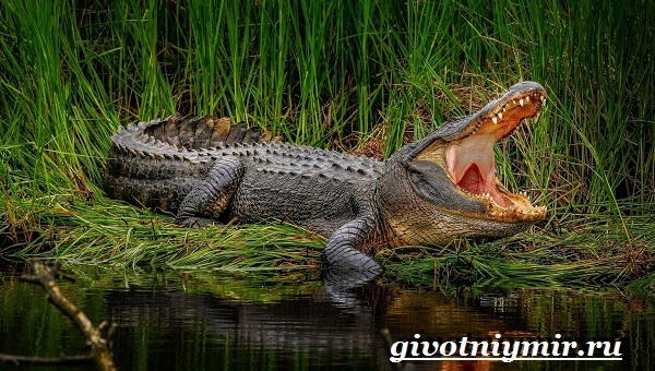 Аллигатор-животное-Образ-жизни-и-среда-обитания-аллигатора-9