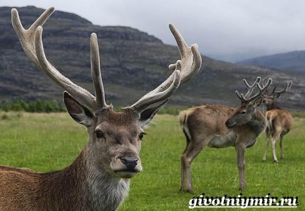 Алтайский-марал-Образ-жизни-и-среда-обитания-алтайского-марала-3
