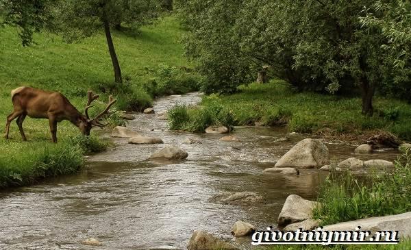 Алтайский-марал-Образ-жизни-и-среда-обитания-алтайского-марала-4