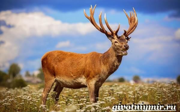 Алтайский-марал-Образ-жизни-и-среда-обитания-алтайского-марала-5