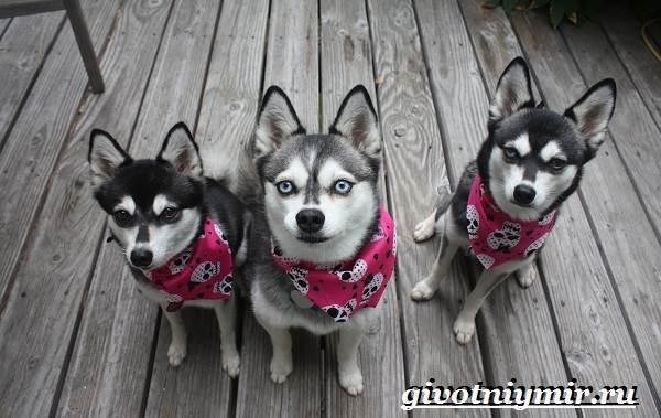 Аляскинский-кли-кай-собака-Описание-уход-и-цена-породы-аляскинский-кли-кай-2