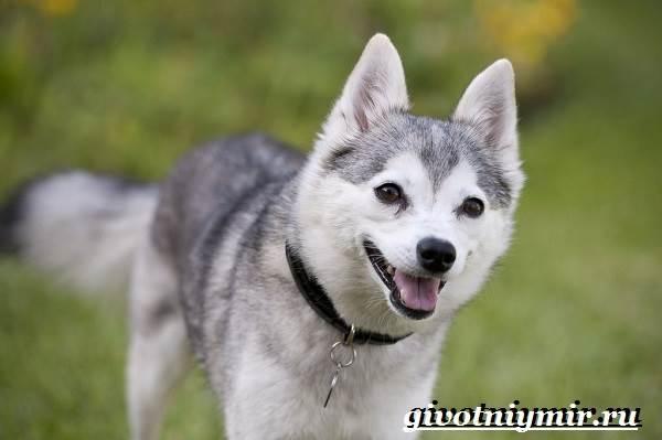 Аляскинский-кли-кай-собака-Описание-уход-и-цена-породы-аляскинский-кли-кай-3