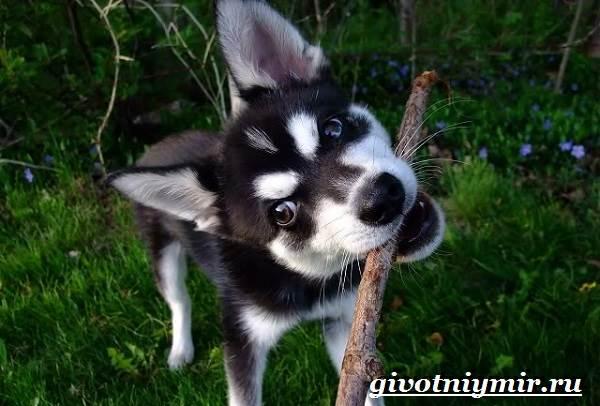 Аляскинский-кли-кай-собака-Описание-уход-и-цена-породы-аляскинский-кли-кай-4