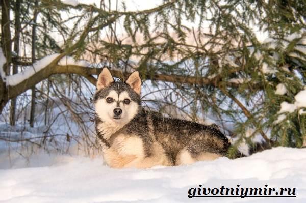 Аляскинский-кли-кай-собака-Описание-уход-и-цена-породы-аляскинский-кли-кай-6