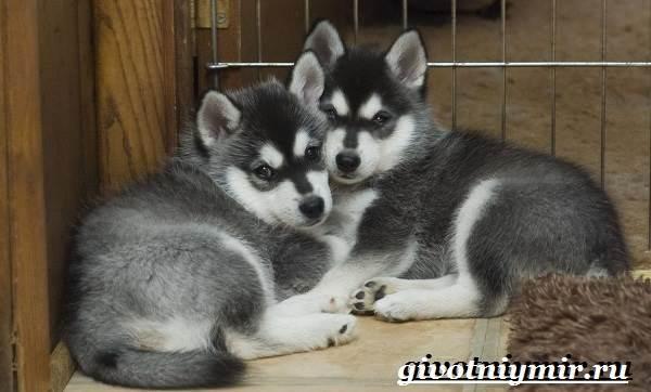 Аляскинский-кли-кай-собака-Описание-уход-и-цена-породы-аляскинский-кли-кай-7