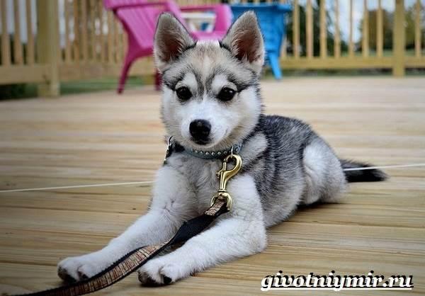 Аляскинский-кли-кай-собака-Описание-уход-и-цена-породы-аляскинский-кли-кай-8