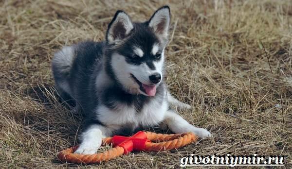 Аляскинский-кли-кай-собака-Описание-уход-и-цена-породы-аляскинский-кли-кай-9